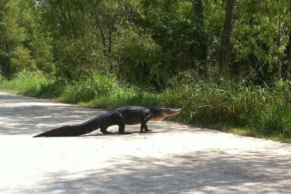 Why did the alligator cross the road?