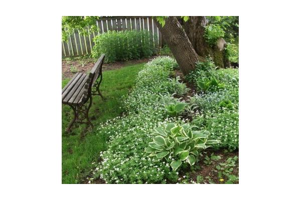 Fragrant Sweet Woodruff in the Herb & Edible Forest Gardens
