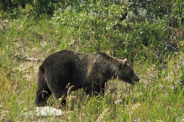 A bear in Glacier National Park
