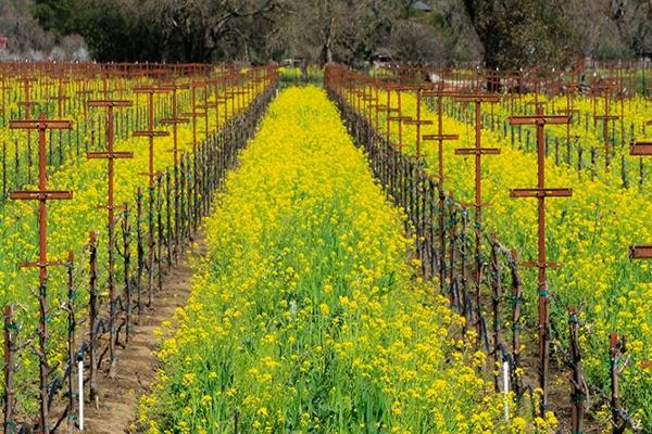 Mustard in bloom vineyards of Sonoma